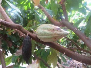 Kakaoschote